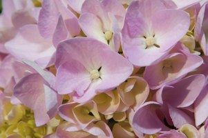 Hydrangeas make long-lasting cut flowers or dried flowers.