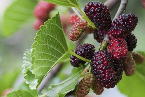 A close-up of mulberries growing on a bush.