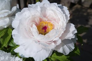 Tree peonies have larger flowers than herbaceous peonies and bloom earlier.