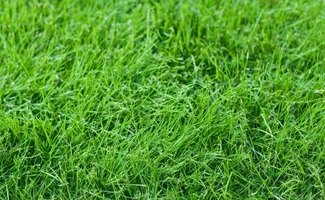 Fescues are fine-textured grasses that work well for lawns in cool climates.