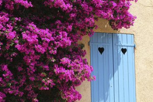 A bourgainvillea shrub with purple blooms growing on the wall of an adobe home.