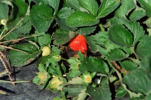 A red strawberry is usually ready to be picked.