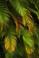Many rotting diseases also cause fronds to turn yellow or brown.