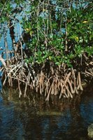 Mangrove trees often grow submerged in saltwater.