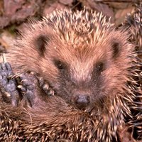 Hedgehogs have a spiny coat, so be careful when you check their pulse.
