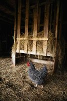 A chicken's adult life begins when she is about 6 months old.