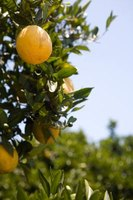 Orange trees can live ancient lives with proper care and protection from freezing weather.