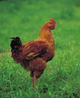 Healthy, unstressed chickens normally breathe through their nostrils.