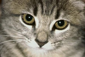If your cat has a bout with conjunctivitis, Terramycin can clear up his beautiful eyes.