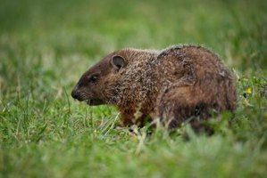 Groundhogs can be troublesome when they move into your yard.