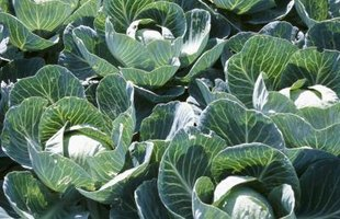 Cabbage is rich in fiber and vitamin C.