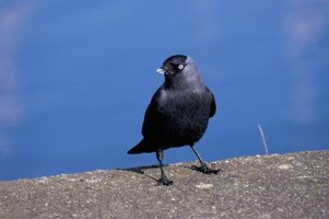 How To Keep Crows Off My Roof Ehow