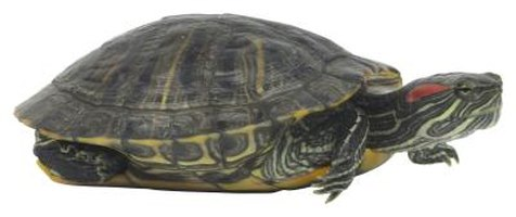 Turtles regularly shed their shell covering to promote growth.