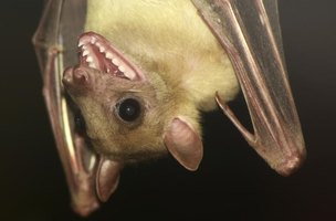 The ears of bats range in size and shape depending on the species.