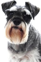 Miniature schnauzers are predisposed to papillomas.