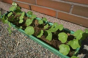 Nasturtium leaves and flowers are attractive in window boxes and salads.