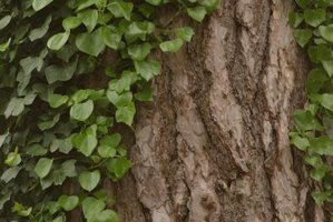 Wild vines benefit wildlife but can create problems for the host tree or shrub.