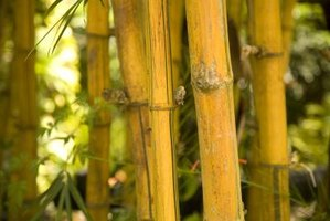 Golden bamboo is fast-growing and invasive.