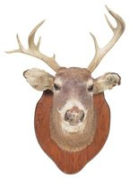 A real deer head is not always the most desirable object on a wall.