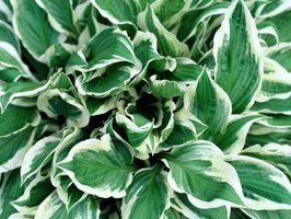 The variegated hosta species tolerate some direct sunlight.