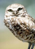 Burrowing owls are considered endangered in Canada, threatened in Mexico, and of special concern in the U.S.