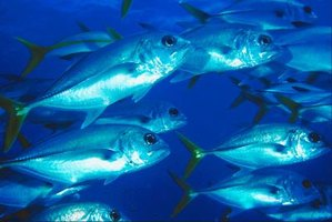 A school of amberjack can prove difficult to catch.