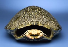 Preserve your turtle's old shell by cleansing and polishing it.
