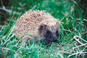 Hedgehogs have a sweet and calm nature.