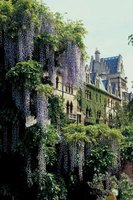 Wisteria invokes images of southern charm.