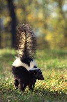 Skunks look for food and water in people's yards.