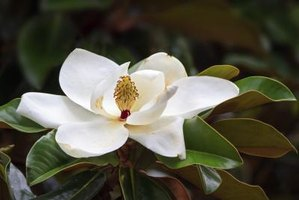 Magnolias deliver beautiful blossoms without regular pruning.