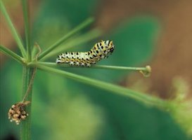 Caterpillars have six jointed legs with a number of other nonjointed legs.