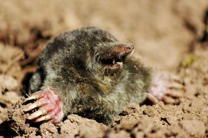 Mole peaking its head out of the dirt.