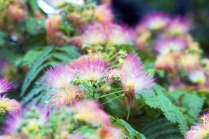 Mimosa tree's fuzzy, pink blooms mimic powderpuff blossoms.