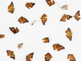 Monach butterflies are poisonous and will severely injure any predator that tries to eat them.