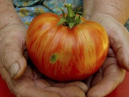 Open-pollinated tomatoes are self-pollinating and don't need bees to produce fruit.