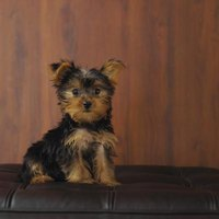 How to Get a Yorkie Adult Male to Accept a New Puppy