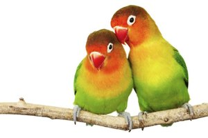 As the name implies, a lovebird should always have a mate.