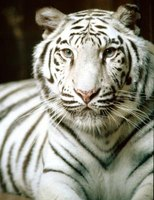 White tigers can be spotted in Russia and certain regions in Asia.