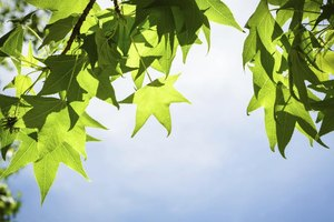 The leaves of a sweet gum tree.