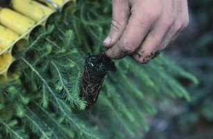 How to Plant Pine Trees on a Tree Farm