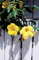 Allamanda shrubs need occasional pruning.