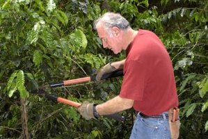 Use the right pruning tools to avoid injury to the shrub.