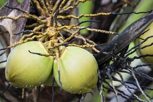 A close-up of coconut fruits growing on a tree.