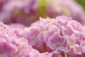 Deadheading hastens the appearance of fresh hydrangea blossoms.