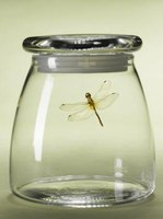 Killing and preserving dragonflies in jars is the quickest and gentlest method.