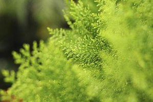 The light, bright needles make arborvitae special shrubs.