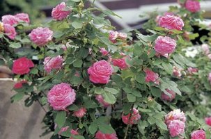 You can grow a rose bush in a pot that has good drainage.