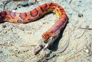 Corn snakes in the wild mostly keep to themselves.