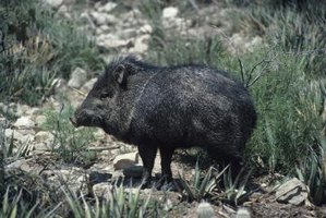 Javelinas can cause extensive damage to your yard.